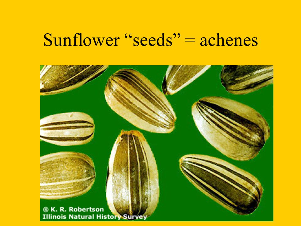 Sunflower seeds = achenes