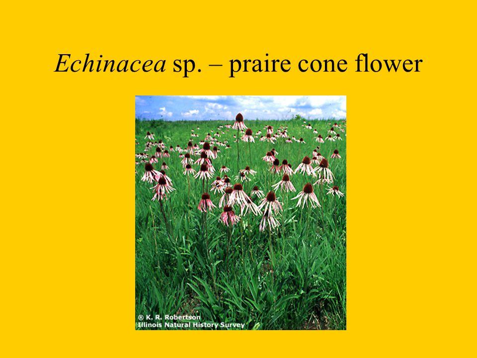 Echinacea sp. – praire cone flower