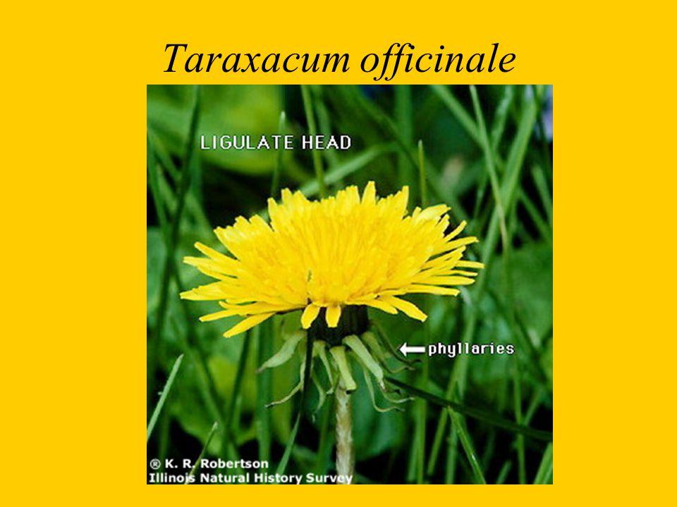 Taraxacum officinale