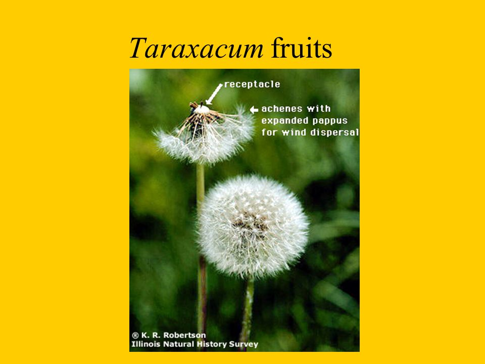 Taraxacum fruits