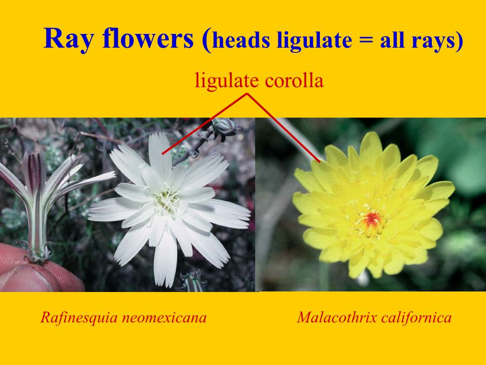 Ray flowers (heads ligulate = all rays)
