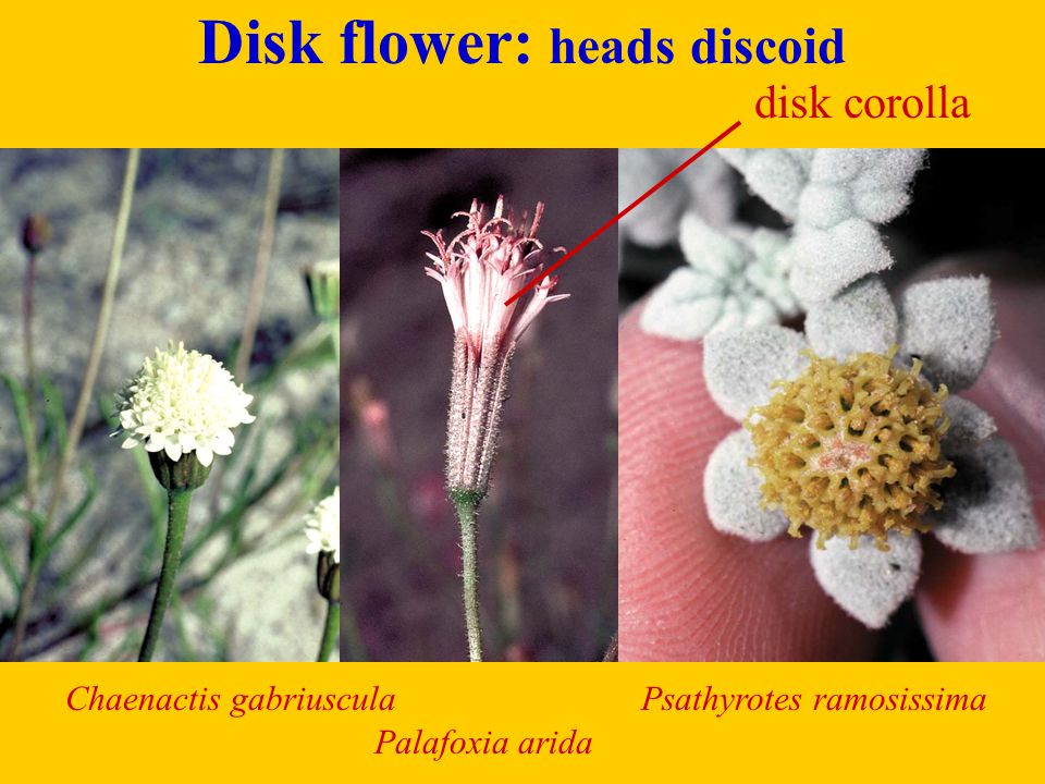 Disk flower: heads discoid