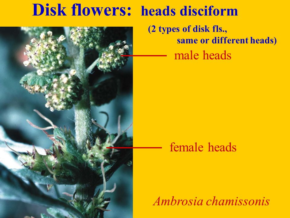 Disk flowers: heads disciform. (2 types of disk fls. ,