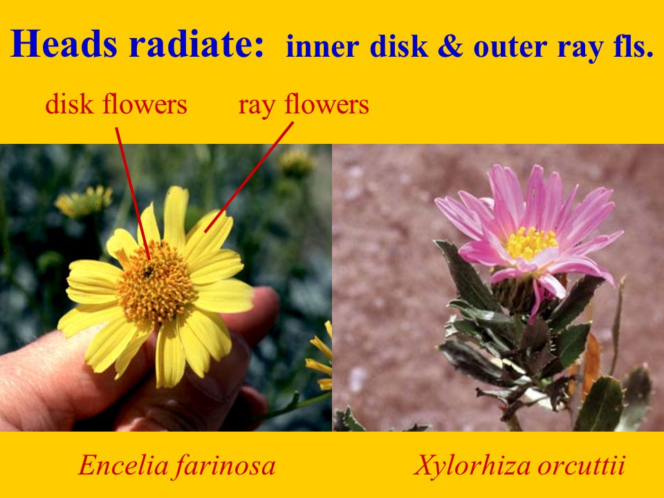 Heads radiate: inner disk & outer ray fls.