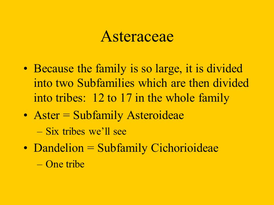 Asteraceae Because the family is so large, it is divided into two Subfamilies which are then divided into tribes: 12 to 17 in the whole family.