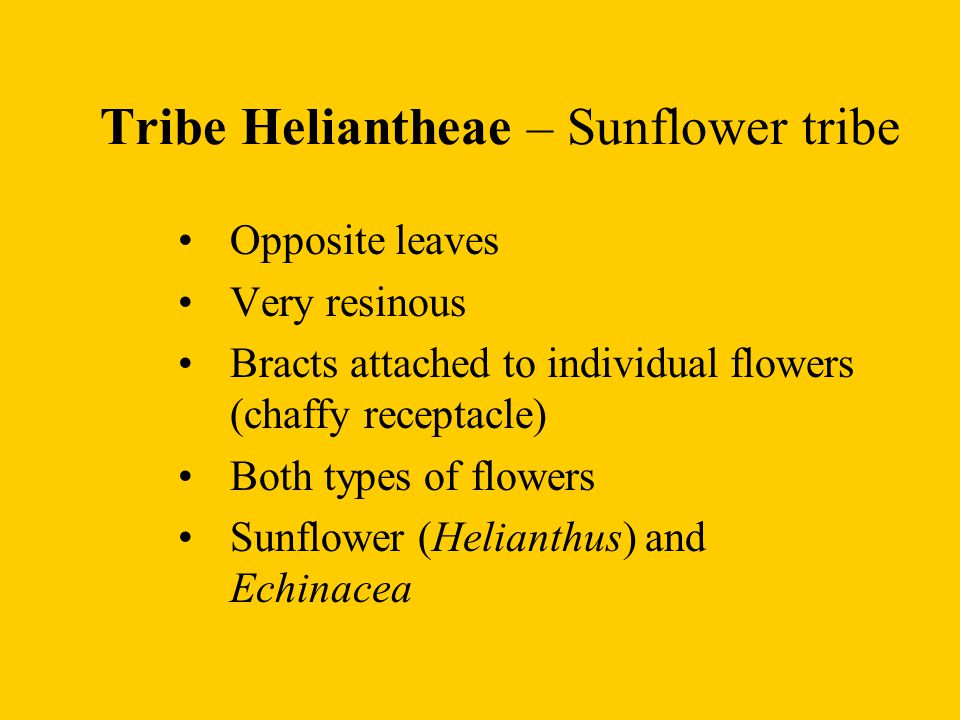Tribe Heliantheae – Sunflower tribe