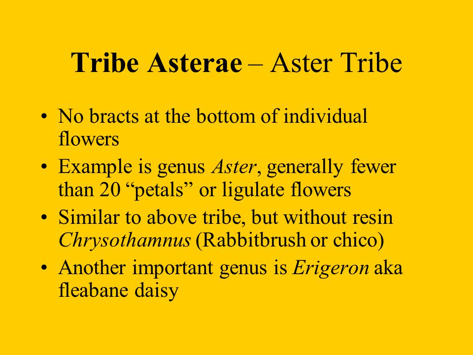 Tribe Asterae – Aster Tribe