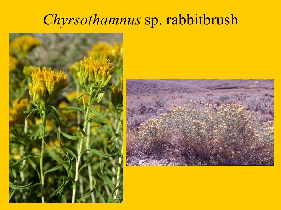 Chyrsothamnus sp. rabbitbrush