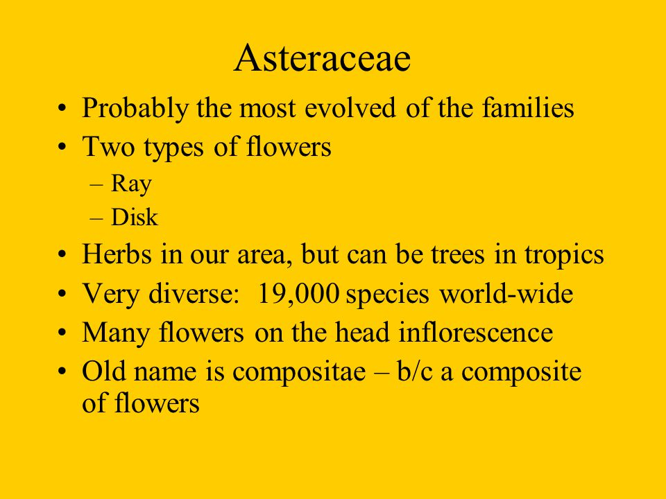 Asteraceae Probably the most evolved of the families