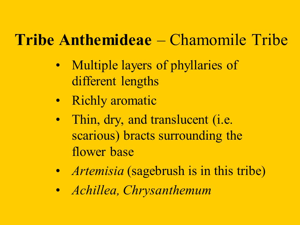 Tribe Anthemideae – Chamomile Tribe