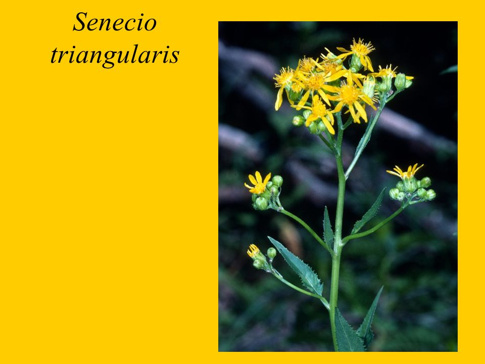 Senecio triangularis