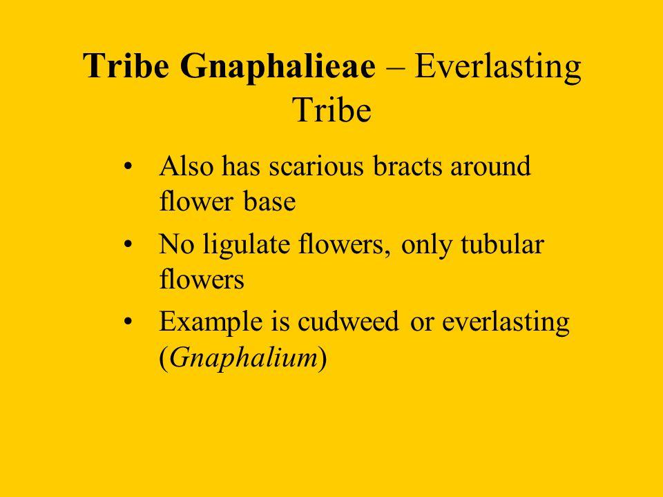 Tribe Gnaphalieae – Everlasting Tribe