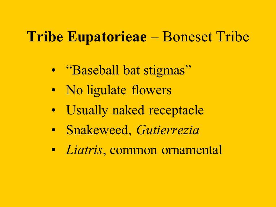 Tribe Eupatorieae – Boneset Tribe
