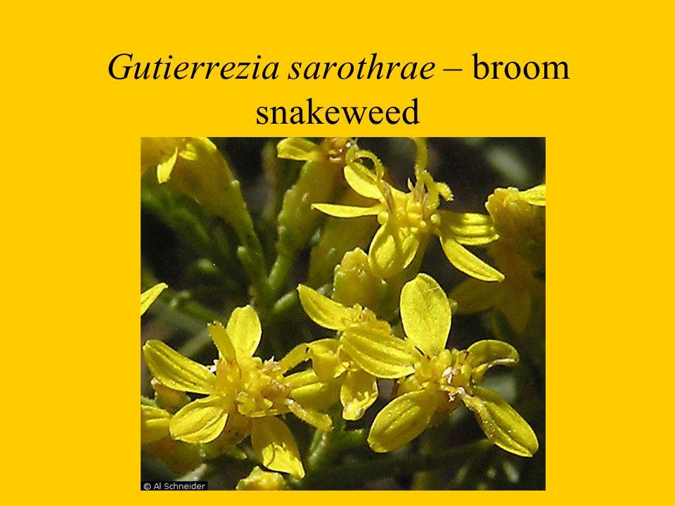 Gutierrezia sarothrae – broom snakeweed