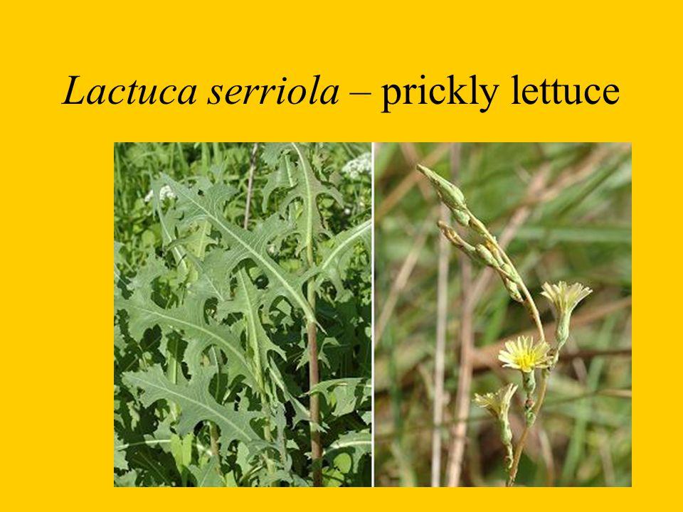Lactuca serriola – prickly lettuce