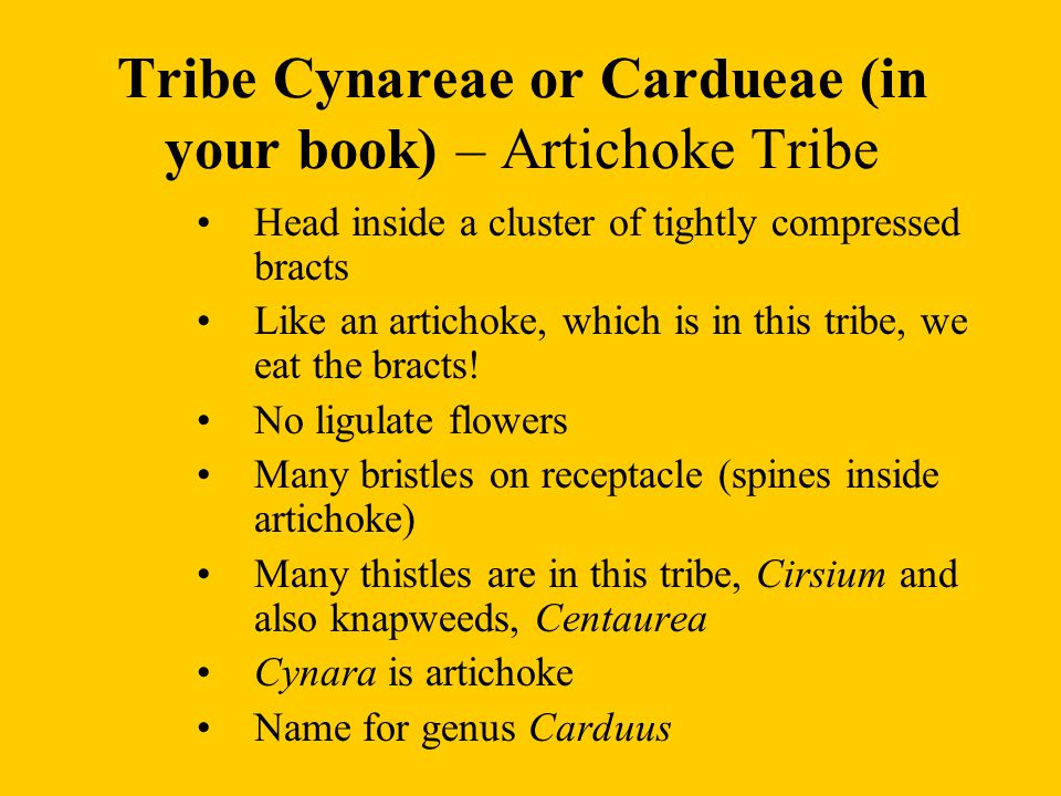 Tribe Cynareae or Cardueae (in your book) – Artichoke Tribe