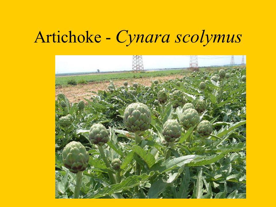 Artichoke - Cynara scolymus