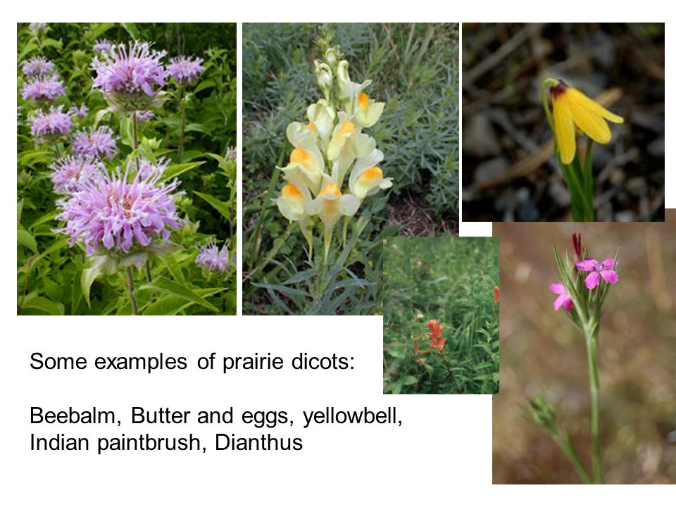 Some examples of prairie dicots: