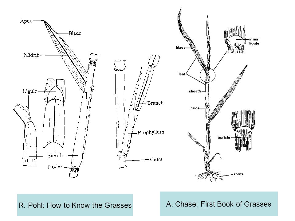 A. Chase: First Book of Grasses R. Pohl: How to Know the Grasses