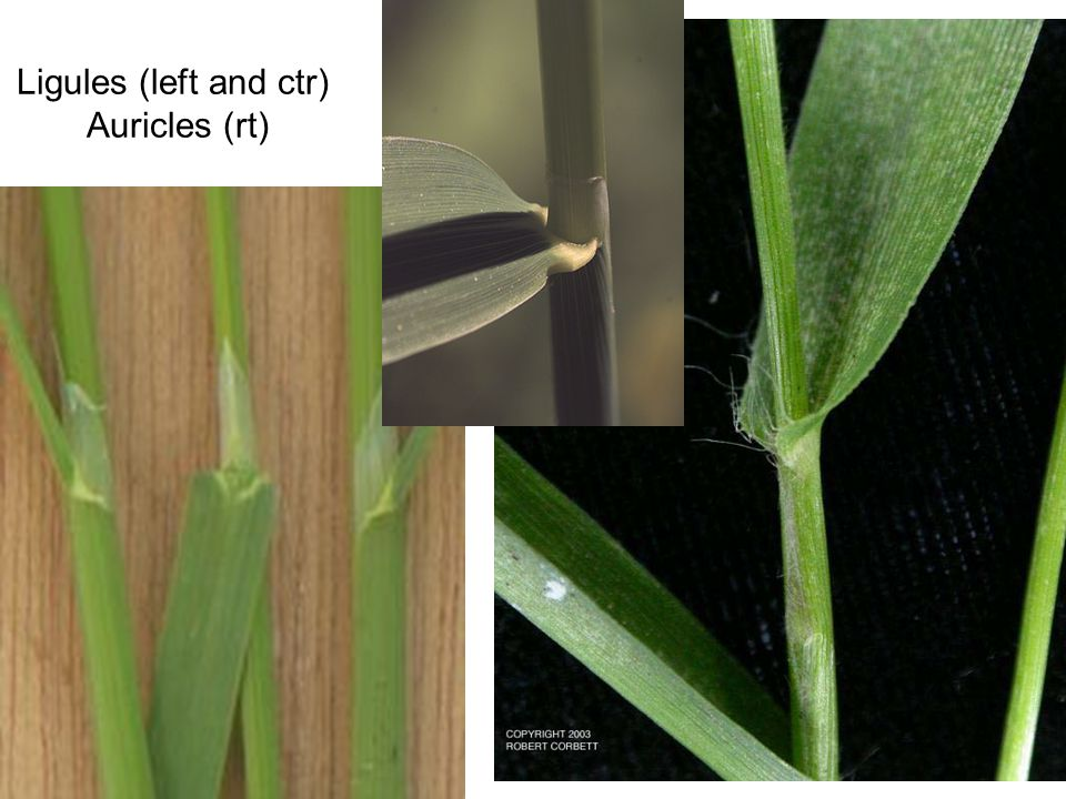 Ligules (left and ctr) Auricles (rt)