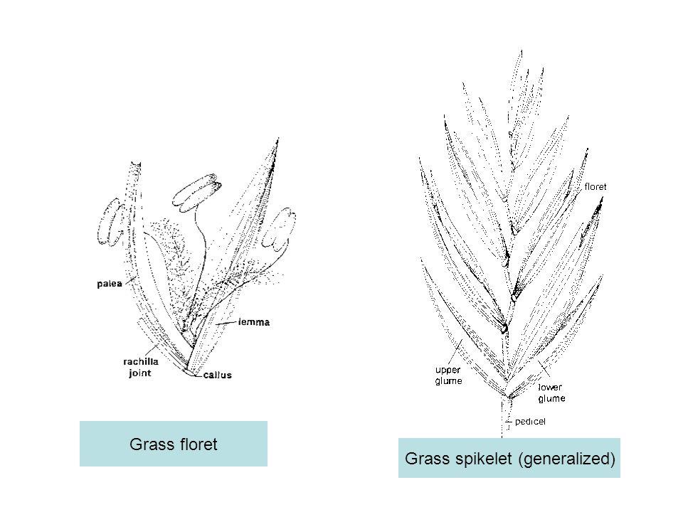 Grass spikelet (generalized)