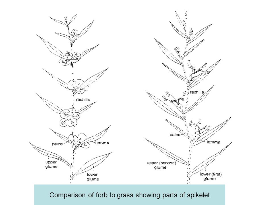 Comparison of forb to grass showing parts of spikelet