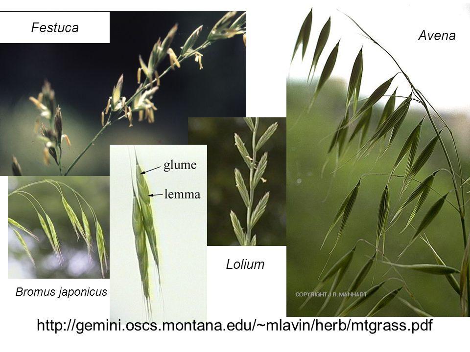http://gemini.oscs.montana.edu/~mlavin/herb/mtgrass.pdf Festuca Avena