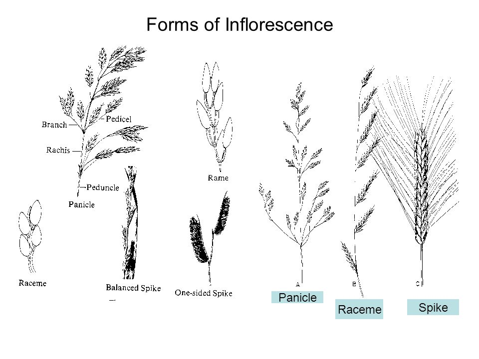 Forms of Inflorescence