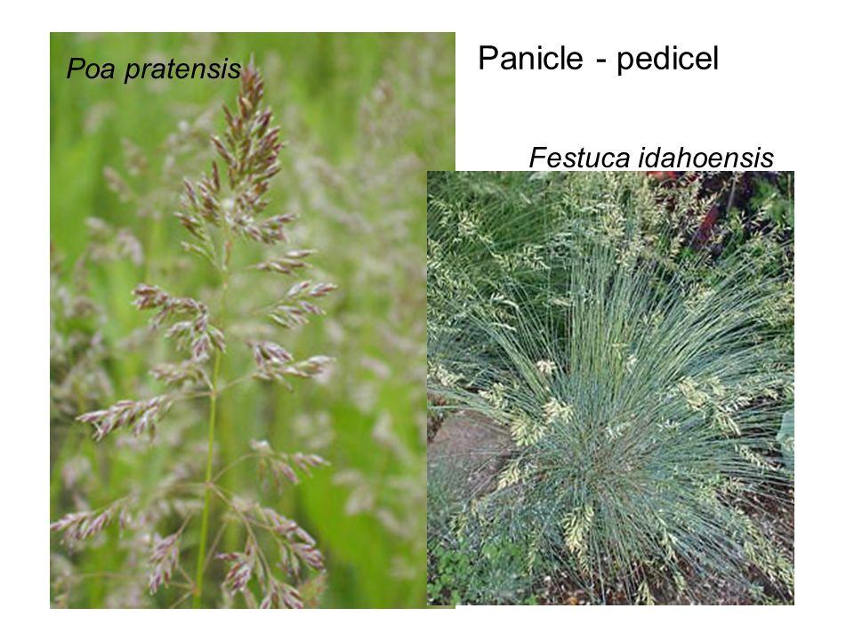 Panicle - pedicel Poa pratensis Festuca idahoensis