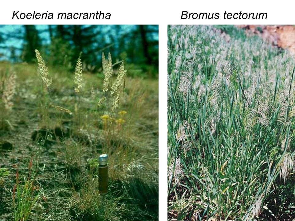 Koeleria macrantha Bromus tectorum