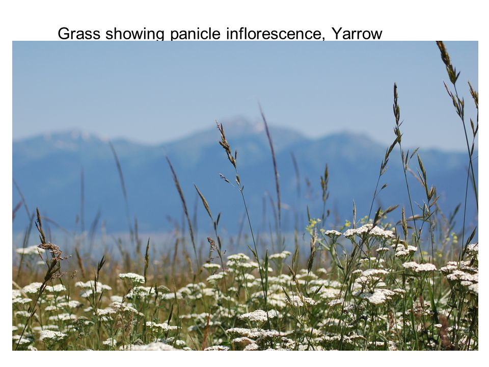 Grass showing panicle inflorescence, Yarrow