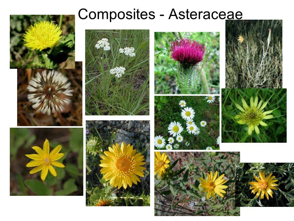 Composites - Asteraceae