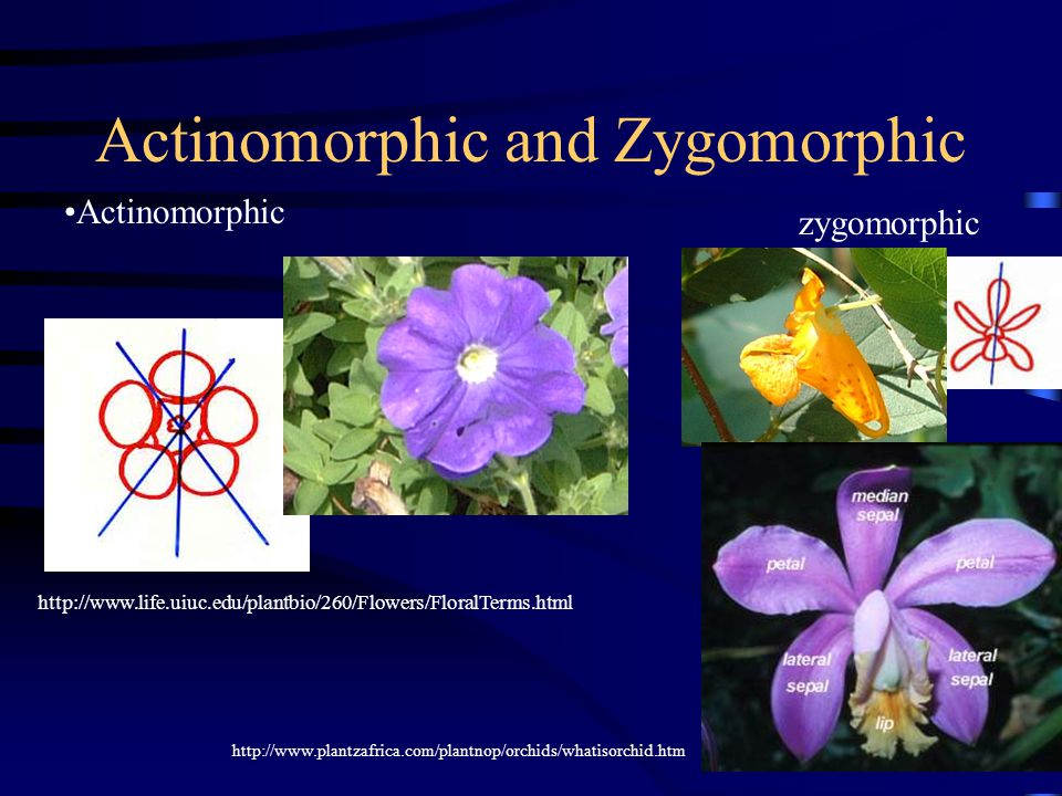 Actinomorphic and Zygomorphic