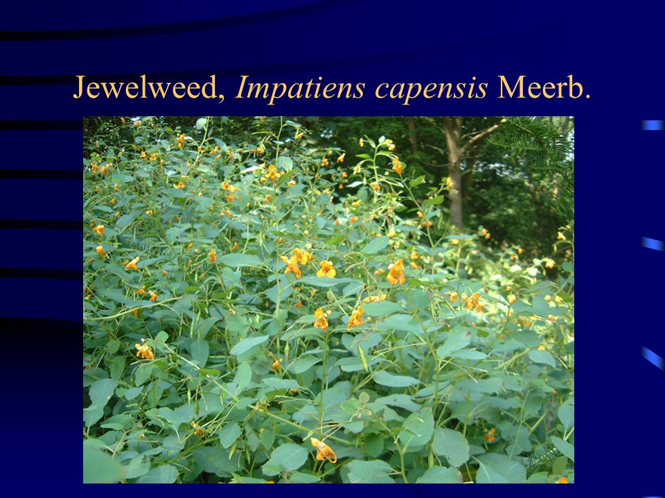 Jewelweed, Impatiens capensis Meerb.