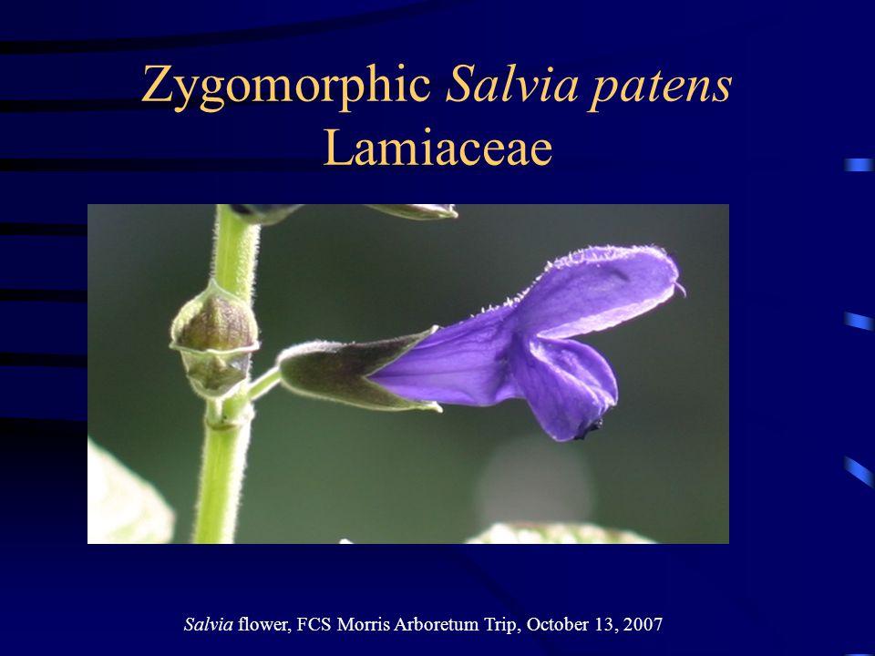 Zygomorphic Salvia patens Lamiaceae