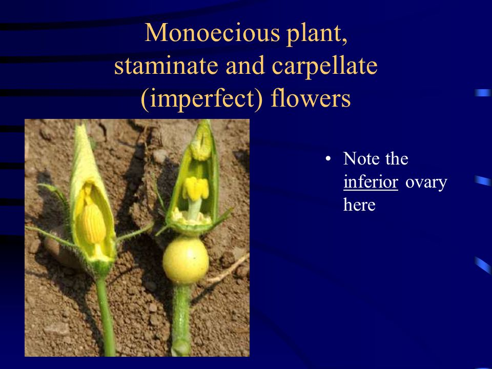 Monoecious plant, staminate and carpellate (imperfect) flowers