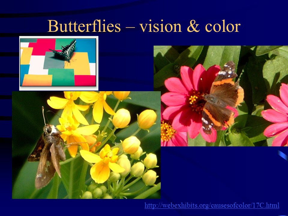Butterflies – vision & color