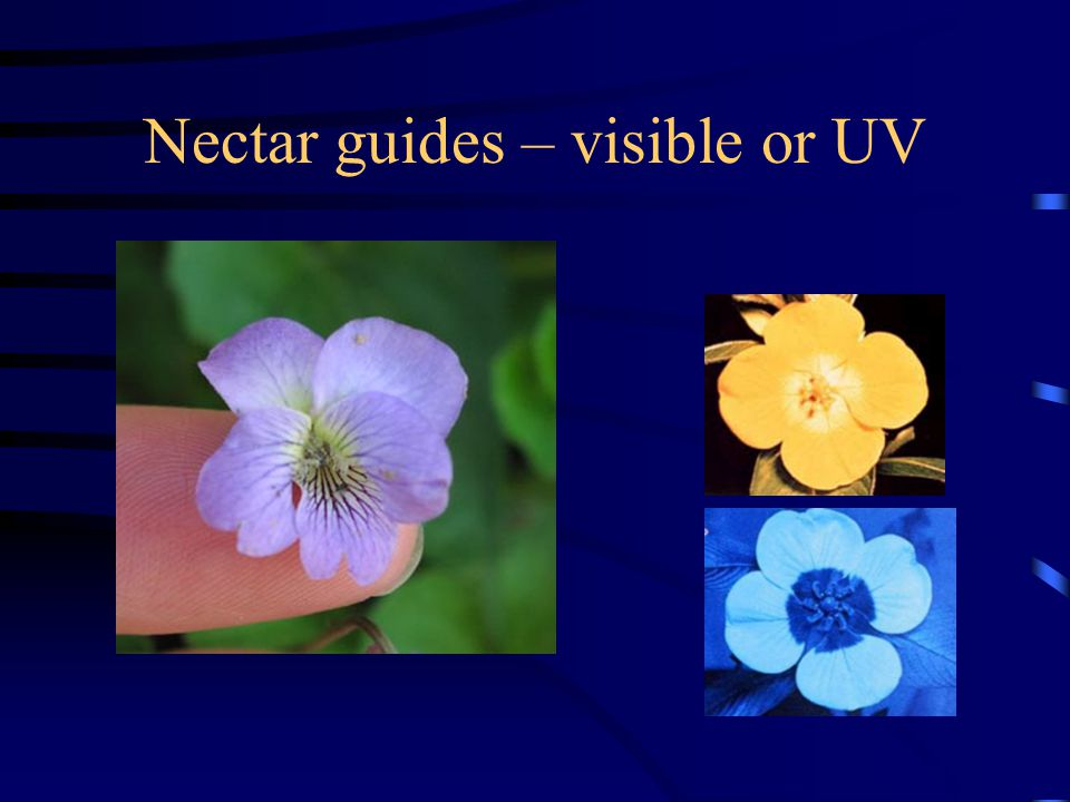 Nectar guides – visible or UV