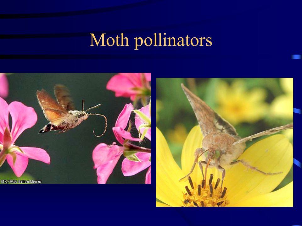 Moth pollinators