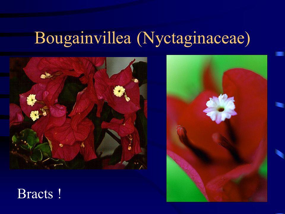 Bougainvillea (Nyctaginaceae)