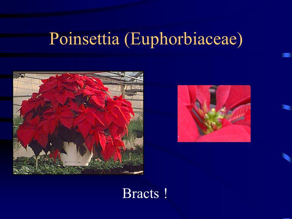 Poinsettia (Euphorbiaceae)