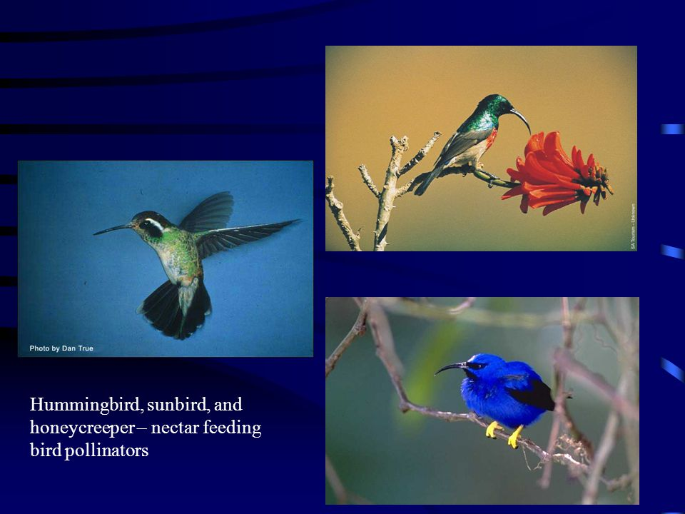 Hummingbird, sunbird, and honeycreeper – nectar feeding bird pollinators
