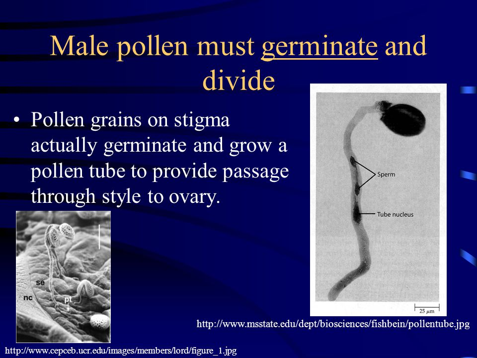 Male pollen must germinate and divide