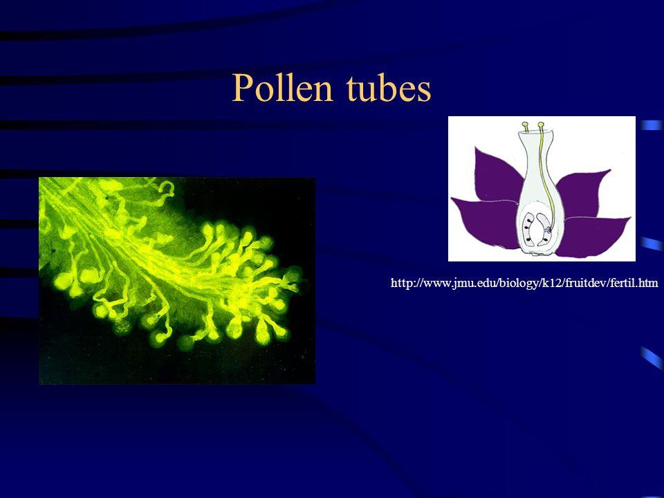 Pollen tubes http://www.jmu.edu/biology/k12/fruitdev/fertil.htm
