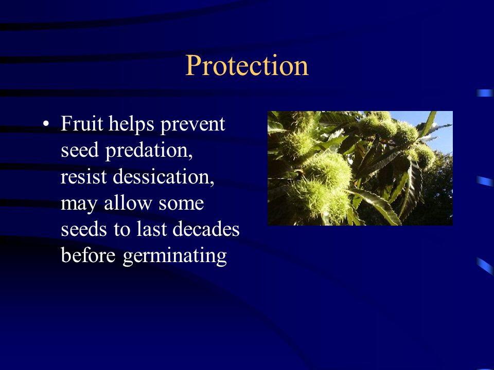 Protection Fruit helps prevent seed predation, resist dessication, may allow some seeds to last decades before germinating.