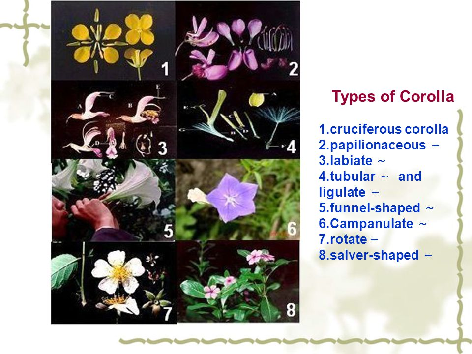 Types of Corolla 1.cruciferous corolla 2.papilionaceous ~ 3.labiate ~