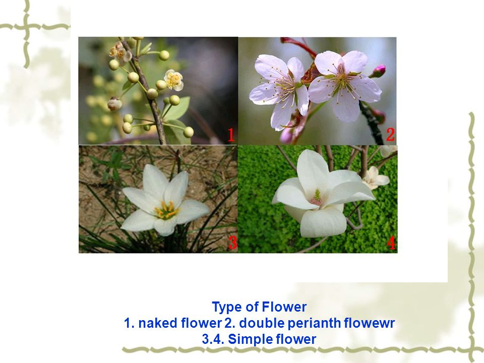 1. naked flower 2. double perianth flowewr 3.4. Simple flower