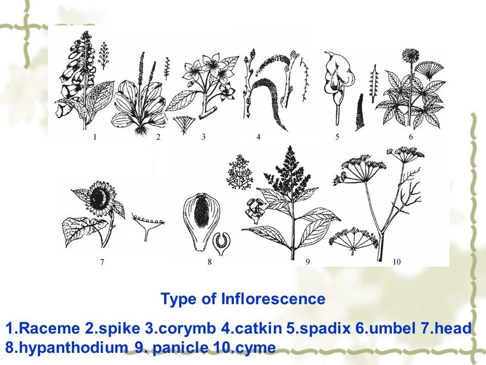 Type of Inflorescence 1.Raceme 2.spike 3.corymb 4.catkin 5.spadix 6.umbel 7.head 8.hypanthodium 9.