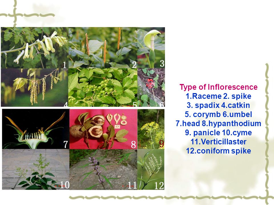 Type of Inflorescence 1.Raceme 2. spike. 3. spadix 4.catkin. 5. corymb 6.umbel. 7.head 8.hypanthodium.