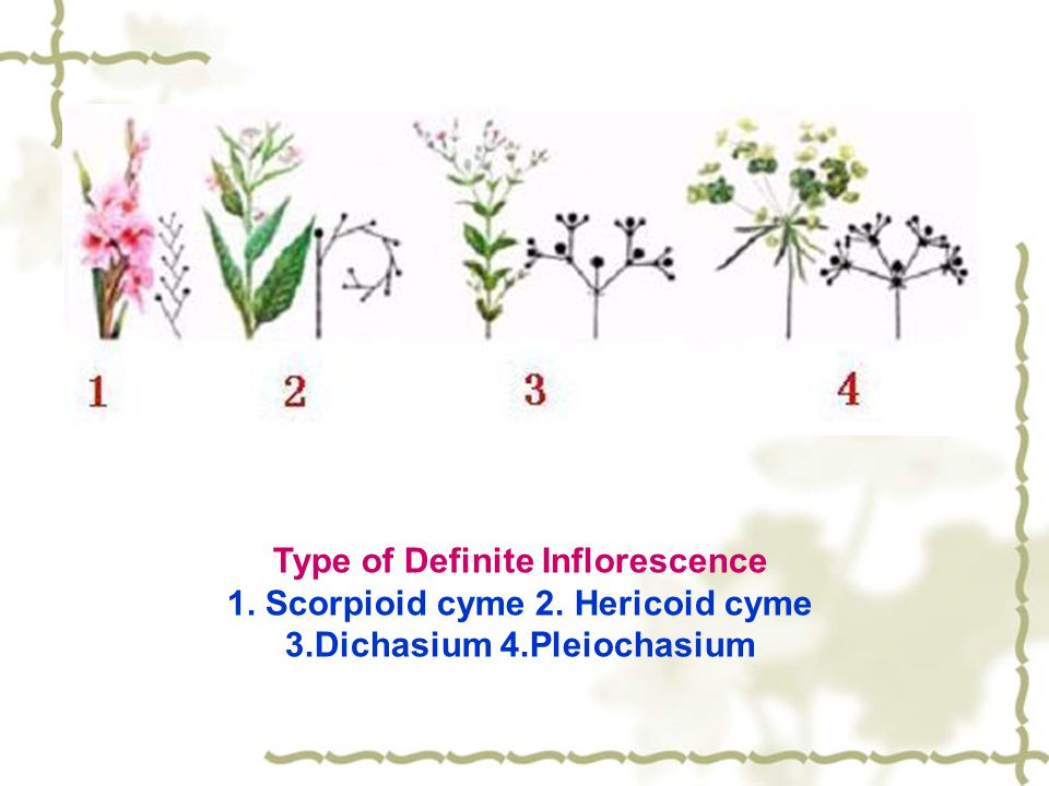Type of Definite Inflorescence 1. Scorpioid cyme 2. Hericoid cyme
